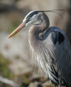 northeast ohio s love affair with the great blue heron conservancy
