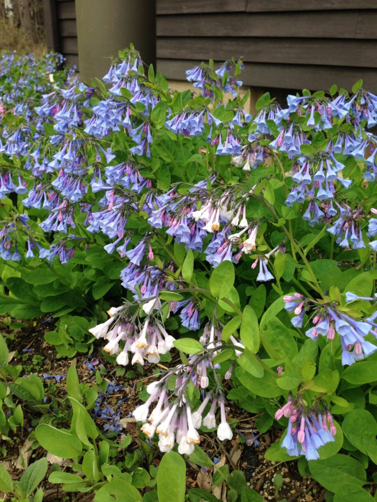 Bluebells near the Environmental Education Center