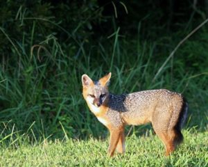 Foxes of Cuyahoga Valley National Park | Conservancy for Cuyahoga Valley  National Park