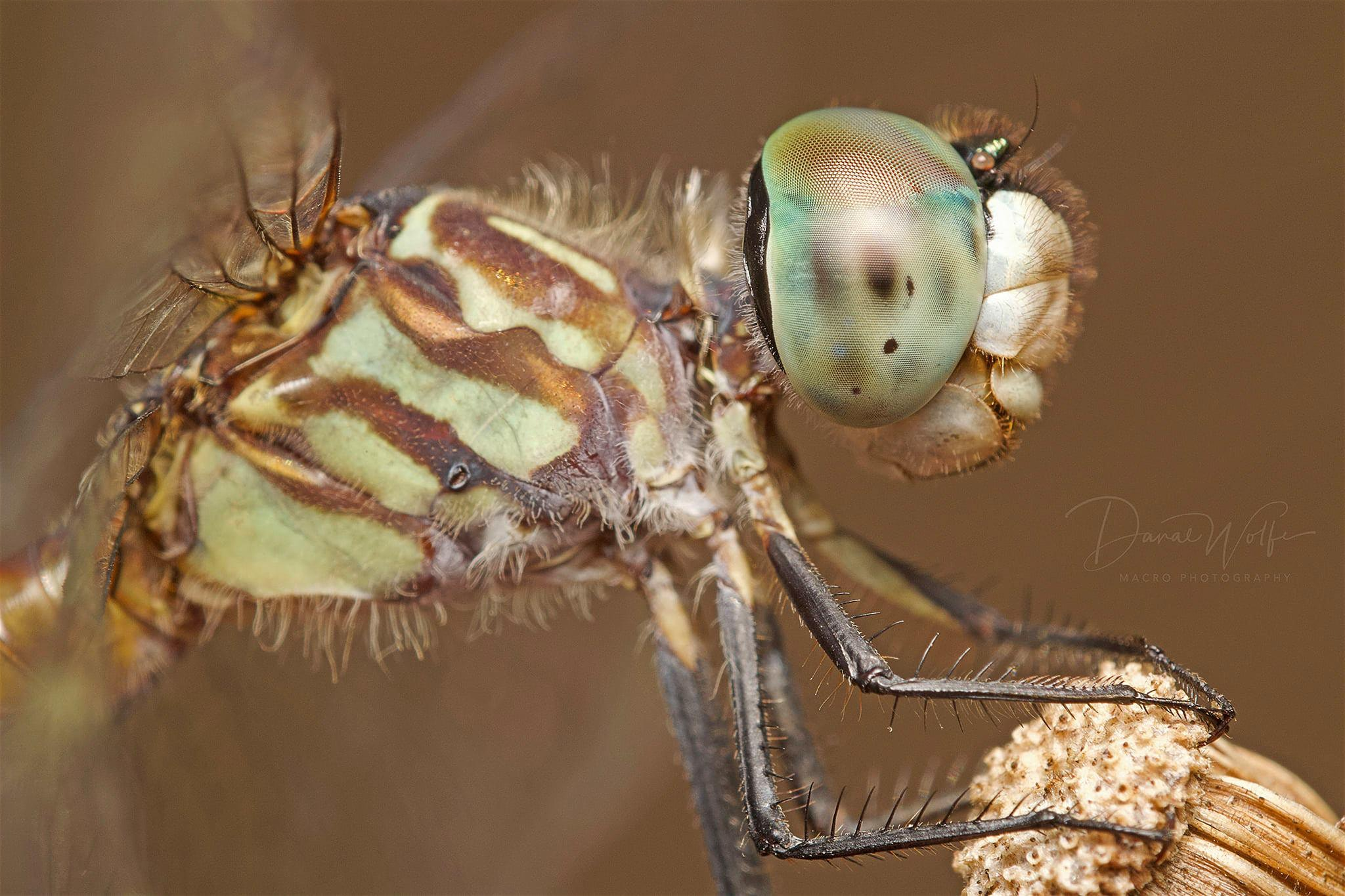 Photo of dragonfly by Danae Wolfe