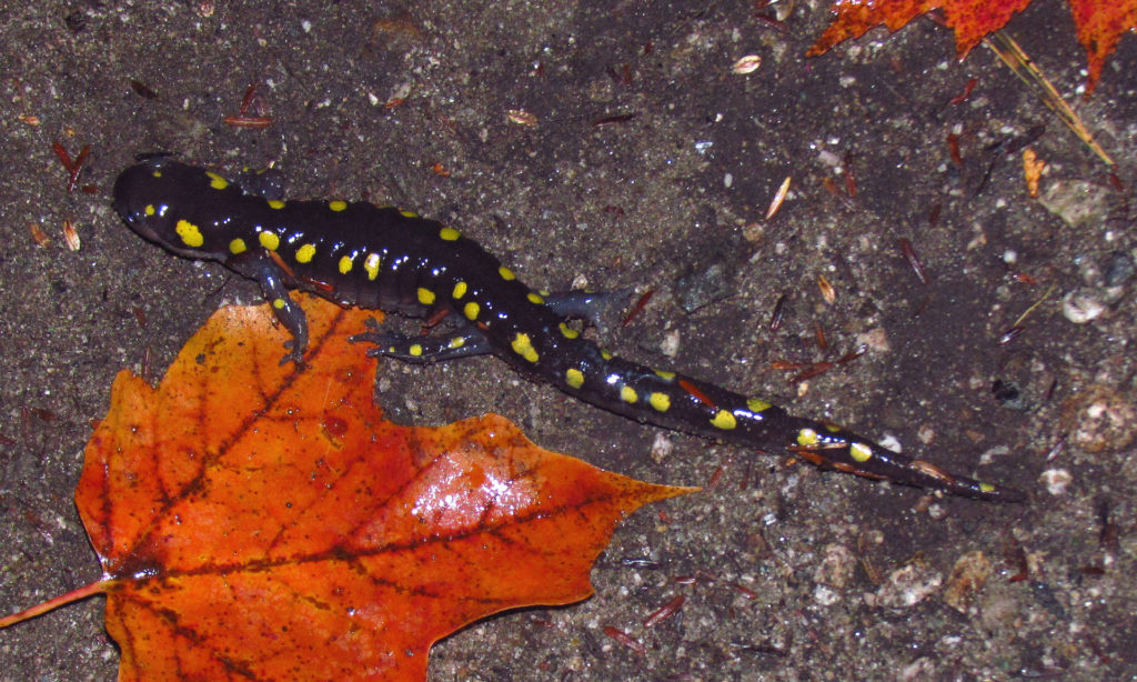 Photo: A spotted salamander among stones and pebbles