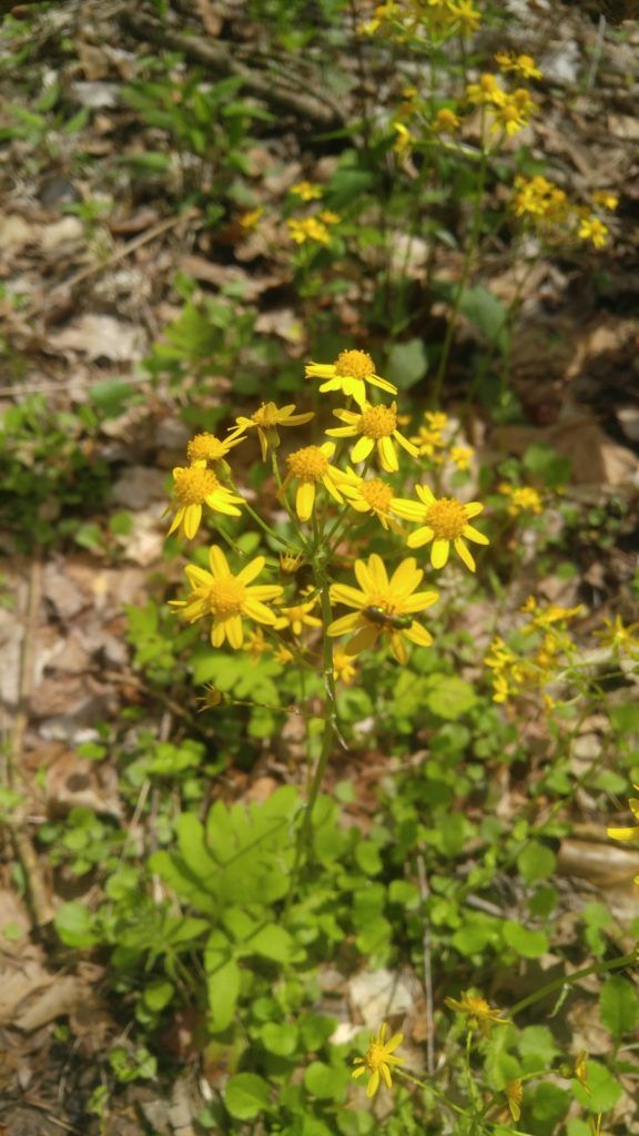 Golden Ragwort: Clusters of yellow, daisy-like flowers atop sparsely-leaved stems.