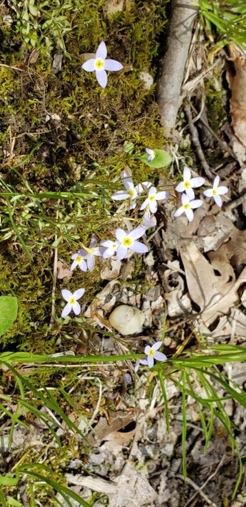 Flowering bluets: These flowers have four pale blue petals. The flowers are small and low to the ground.