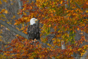 A bald eagle is perched around orange and golden autumn leaves.