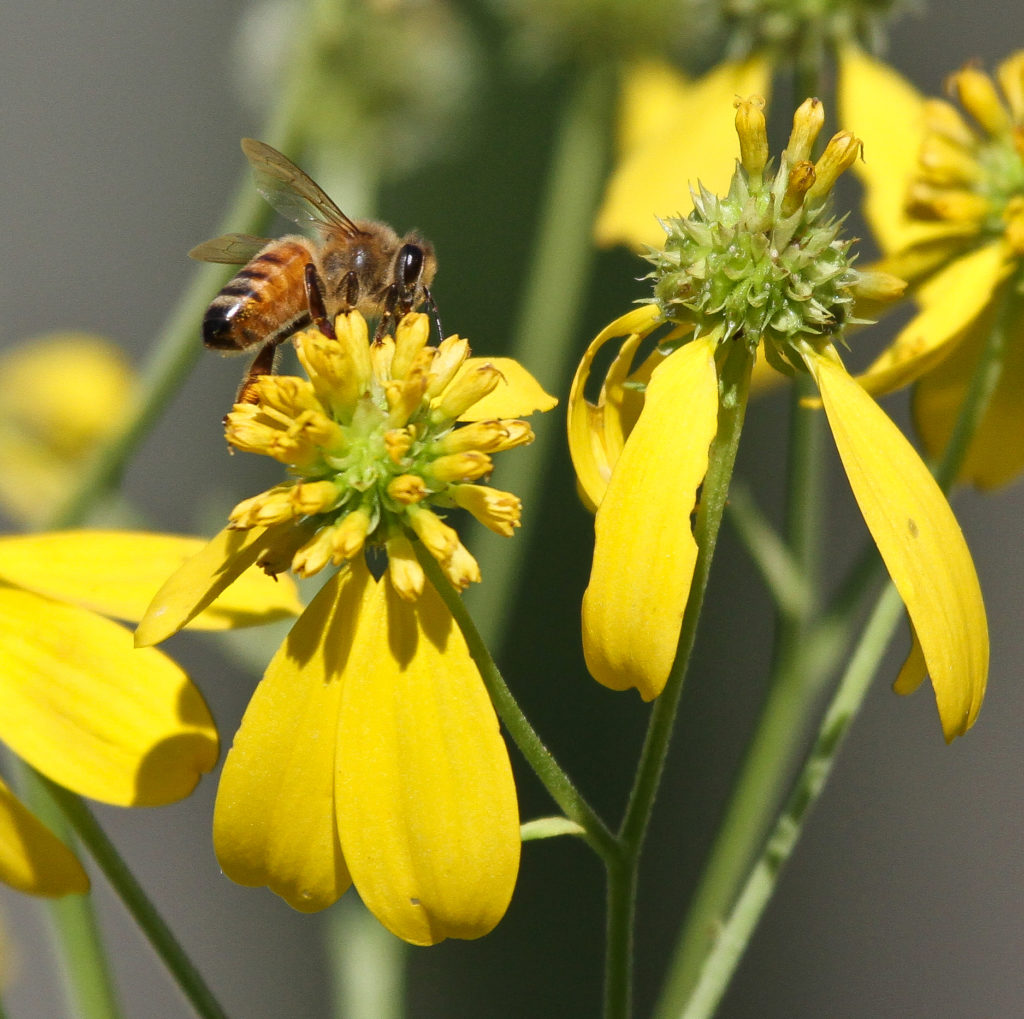 Bee collects nectar from yellow flowers.