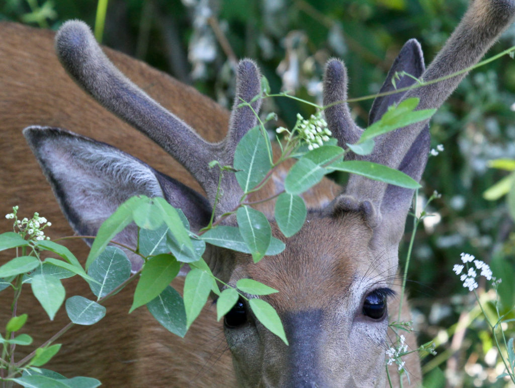 Buck with velvet on antlers
