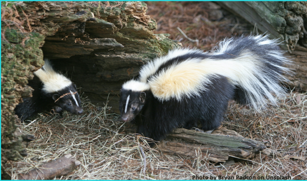a picture of two skunks in the woods.