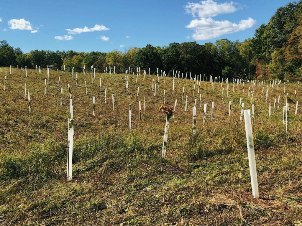 Field of newly planted trees with tubes around them