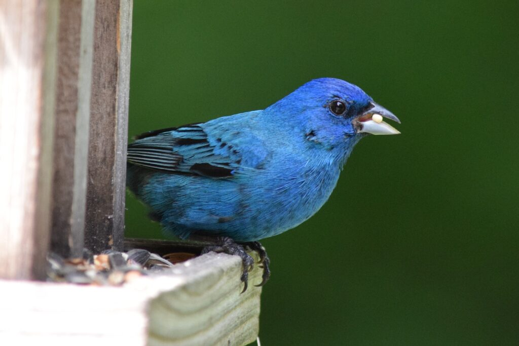 Indigo bird sits on a bird feeder with a seed in its mouth